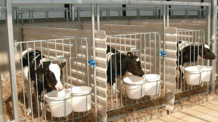 dairy calves in pens