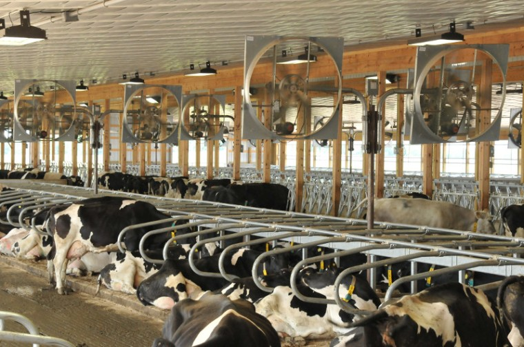 circulation fans above dairy cattle